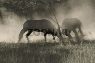 fighting gemsbok in morning mist