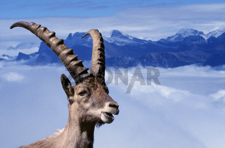 Alpine Ibex / Alpensteinbock