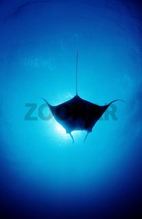 Mantarochen, Manta birostris, Manta ray, Mikronesien, Rotes Meer