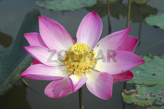 Lotusbluete Nelumbo nucifera