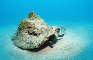 Conch Meeresschnecke, Strombus gigas, Bahamas, Atlantischer Ozean, Conch shell