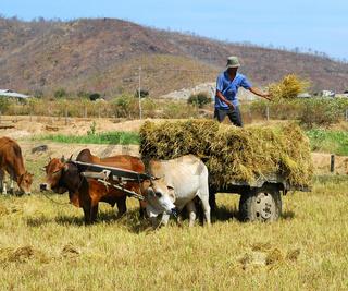 Verladen von Reisstroh, Vietnam
