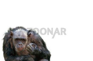 Chimpanzee with piece of broken glassSchimpanse mit GlaswuerfelPan troglodytes