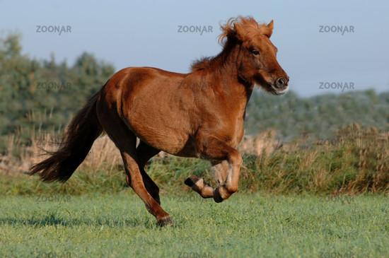 Hanoverian stallion running