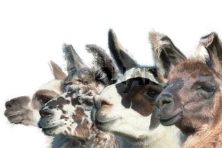 Lustige Lamas