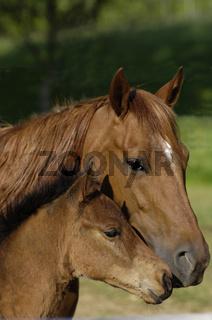 Quarter Horse Stute mit Fohlen