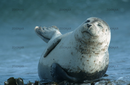 Common Harbour Seal, Phoca vitulina, North Sea, Germany