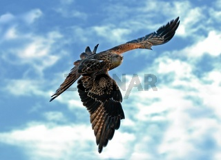 Rotmilan, Red Kite, Milvus milvus, Gabelweihe, Europe, Europa