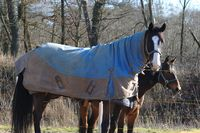 Horses with blanket