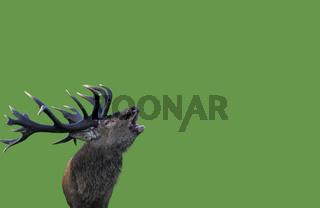 Rothirsch / Red Deer / Cervus elaphus