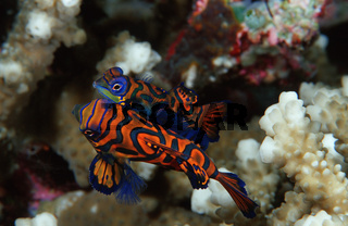 balzende Mandarin-Leierfische