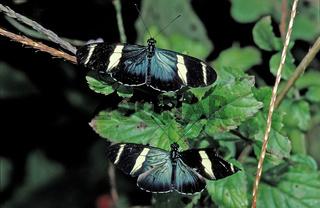 Zwei tropische Schmetterlinge