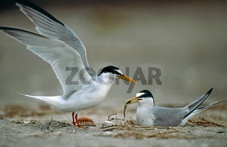 Zwergseeschwalbe, Sterna albifrons, Little Tern, Europe, Europa