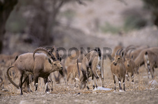Nubischer Steinboecke Capra ibex nubiana Oase Ein Gedi am Toten Meer