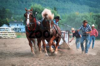 Belgian Heavy Horse / Belgisches Kaltblut