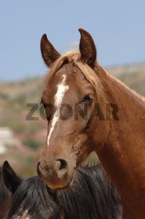 Pura Raza Espagnola Pferde (PRE), Junghengste auf der Weide, Spanien
