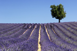 Lavendelfeld mit Baum, Provence, Frankreich