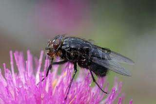 Fliege mit Kontaktlinse, Wassertropfen im Auge