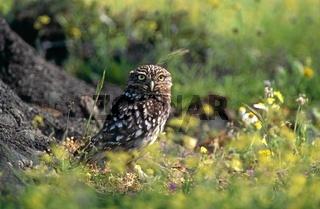 Steinkauz, Athena noctua, Little Owl, Europa, Europe