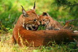 Europäischer Luchs / European Lynx