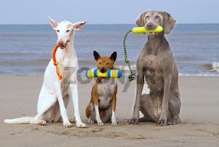 Drei Hunde am Strand