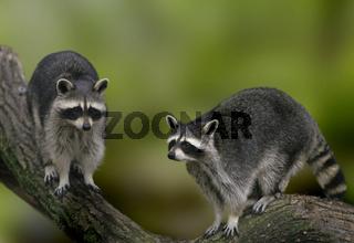 Waschbär / Common Raccoon / Procyon lotor