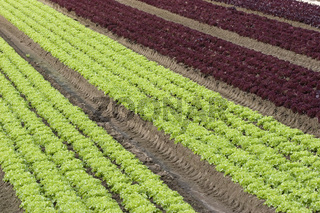 Salatfeld | Lettuce field