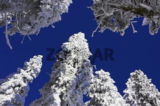 Baeume, verschneit, Nordschwarzwald,  Schwarzwaldhochstrasse, Schliffkopf, Winter, Buehlertal, Baden-Wuerttemberg, Germany
