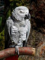Grau Papagei