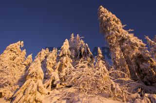 Verschneite Tannenbaeume im Sonnenuntergang an der Schwarzwaldhochstrasse Hornissgrinde, Schwarzwald, deutschland, germany, europe, winter