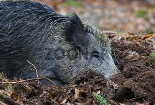 Wild Boar, Sus scrofa, Wildschwein, Nationalpark Bavarian forest, Germany, Nationalpark Bayerischer Wald, Deutschland
