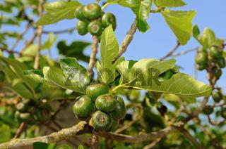 Baum der Echten Feige (Ficus carica) mit Früchten