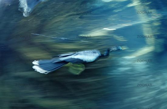 Jagender Kormoran, Phalacrocorax carbo, USA, Florida, Everglades, Crystal River