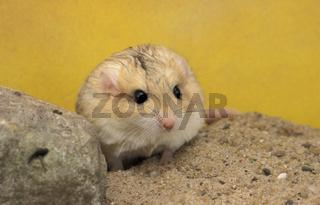 Dickschwanzmaus, Fettschwanz-Rennmaus, Pachyuromys Duprasi, Fat-tailed Gerbil, Pet, Rodents, Pets, Haustier, Gerbillinae