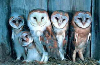Schleiereule, Common Barn-Owl, Tyto  alba