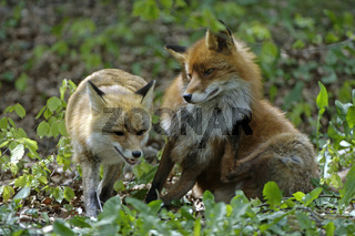 Zwei Rotfuechse Two Red Foxes