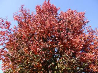 Zierkirsche (Prunus sargentii) Japanese Cherry