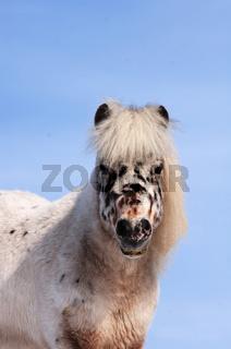getigertes Shetland Pony Portrait
