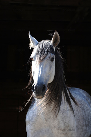 pure raza espanola, pre, Andalusier, Andalusian Horse, Andalusierhengst, Stallion, evil, Hengst
