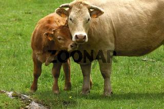 Mutterkuh mit Kalb, Aubrac-Rinderrasse