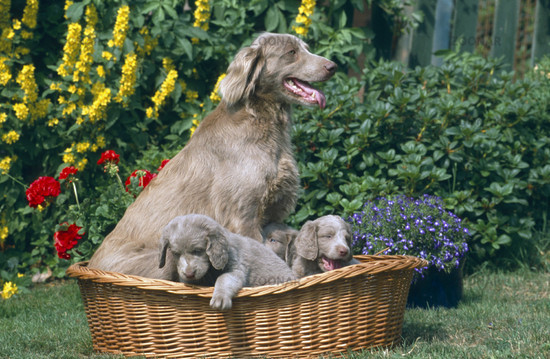 Long-haired Weimaraner