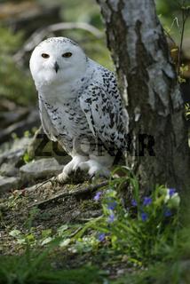 Schnee-Eule, Nyctea scandiaca, Schneeeule, bubo scandinavicus, Snowy Owl, Northern Europe