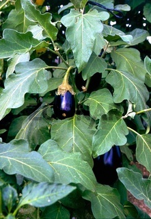 Aubergine (Solanum melongena), Eggplant