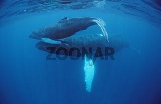 Buckelwal, Megaptera novaeangliae, Humpback whale, Tahiti