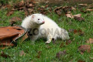Pandafrettchen, Panda Ferret, Pet, Pets, Haustier, Haustiere, Frettchen, Ferrets