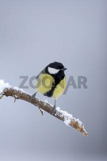 Great Tit, Kohlmeise, Parus major, Europa, europe, Vogel, Singvoegel, songbirds, songbird, bird
