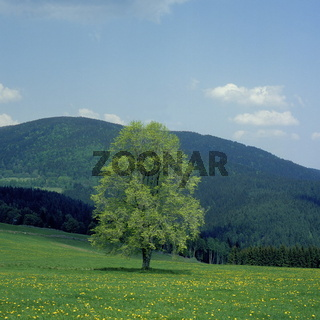 solitaire elm tree, Sumava, Czech Republic, Europe