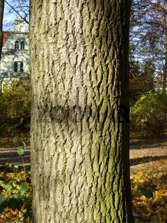 Esche, Fraxinus excelsior, Ash