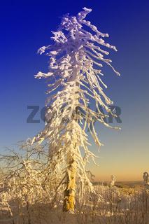 Buehlertal, Baeume, verschneit, Nordschwarzwald,  Schwarzwaldhochstrasse, Winter , Germany, Baden-Wuerttemberg