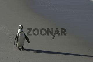 African penguin walking on beach